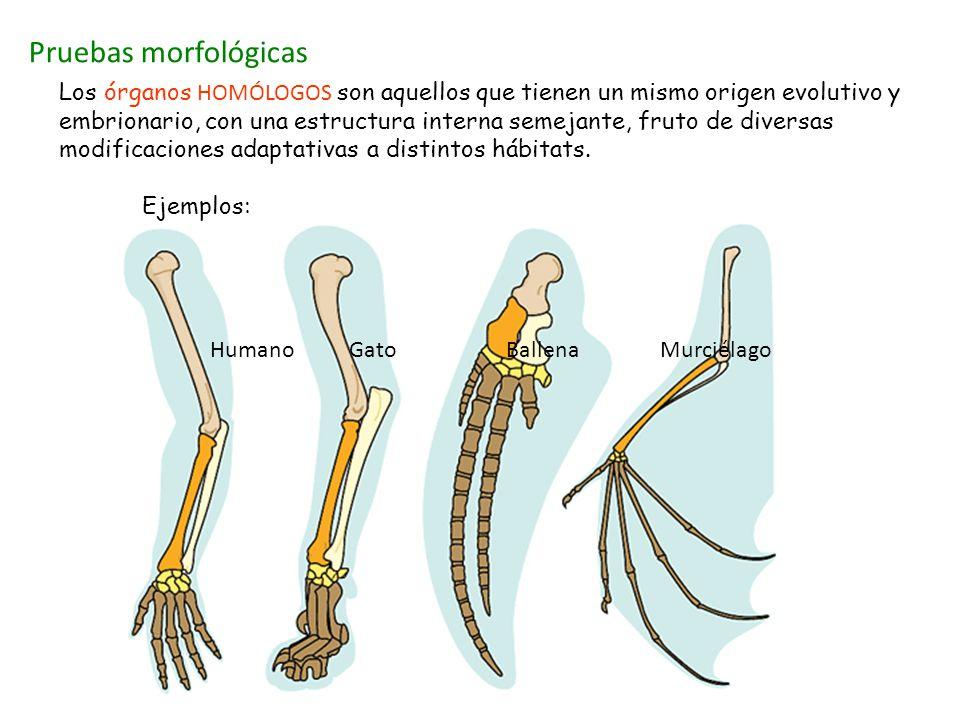 Pruebas morfológicas Los órganos HOMÓLOGOS son aquellos que tienen un mismo origen evolutivo y embrionario, con una estructura interna semejante, frut