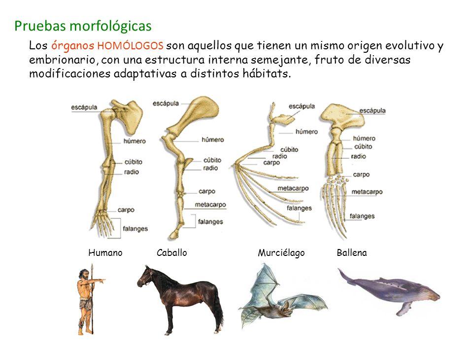 Pruebas morfológicas Humano Caballo Murciélago Ballena Los órganos HOMÓLOGOS son aquellos que tienen un mismo origen evolutivo y embrionario, con una