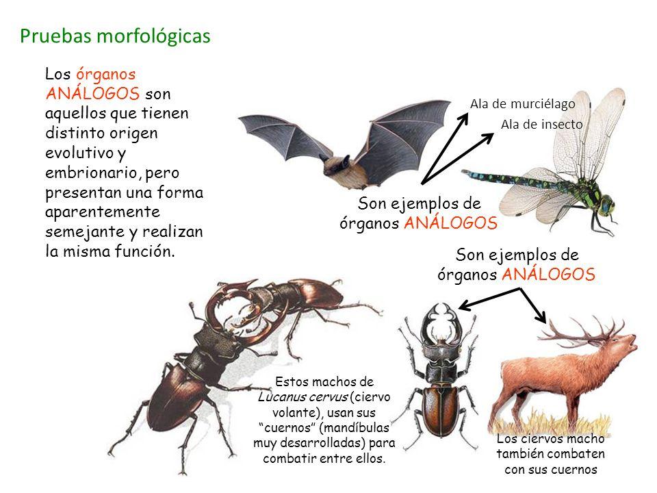 Pruebas morfológicas Los órganos ANÁLOGOS son aquellos que tienen distinto origen evolutivo y embrionario, pero presentan una forma aparentemente seme
