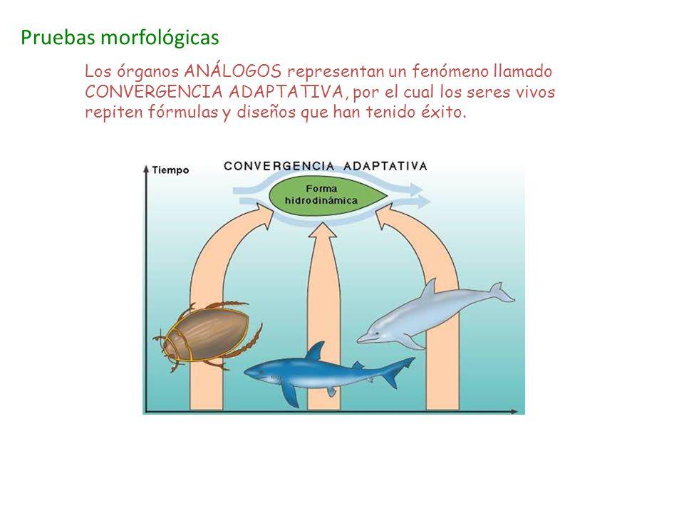 Pruebas morfológicas Los órganos ANÁLOGOS representan un fenómeno llamado CONVERGENCIA ADAPTATIVA, por el cual los seres vivos repiten fórmulas y dise
