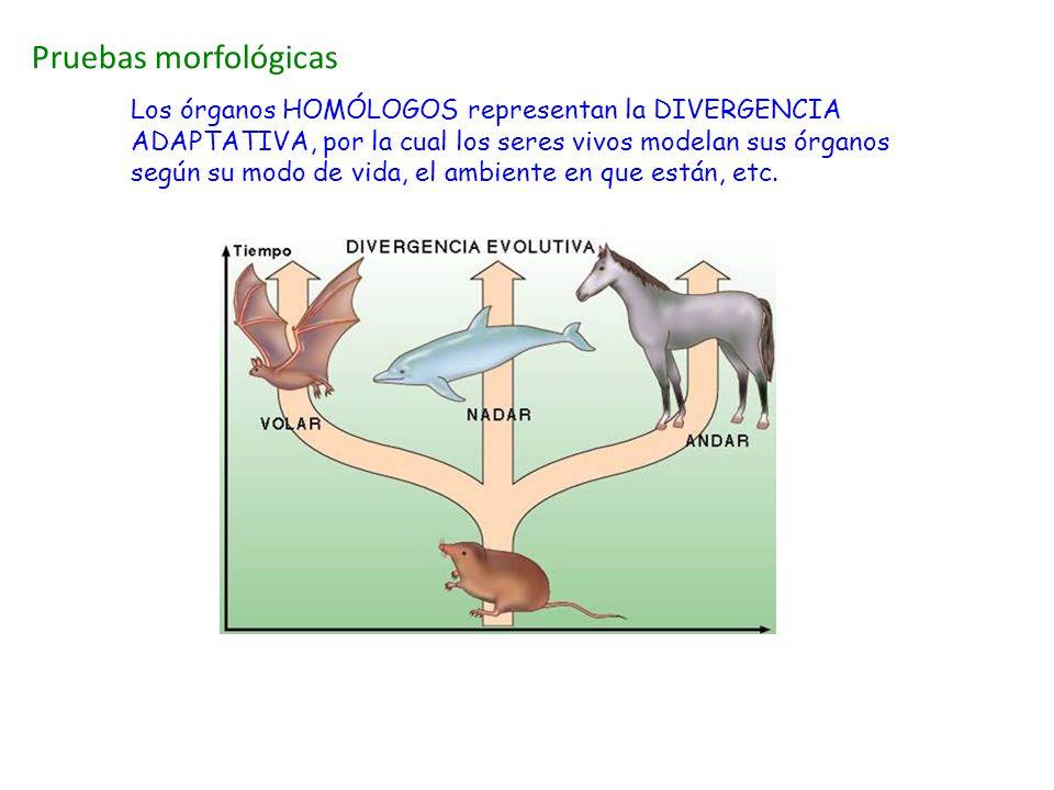 Pruebas morfológicas Los órganos HOMÓLOGOS representan la DIVERGENCIA ADAPTATIVA, por la cual los seres vivos modelan sus órganos según su modo de vid