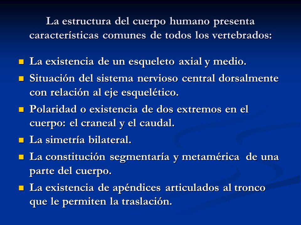 La estructura del cuerpo humano presenta características comunes de todos los vertebrados: La existencia de un esqueleto axial y medio. La existencia