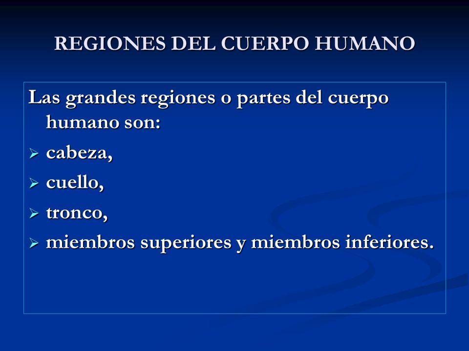 REGIONES DEL CUERPO HUMANO Las grandes regiones o partes del cuerpo humano son: cabeza, cabeza, cuello, cuello, tronco, tronco, miembros superiores y