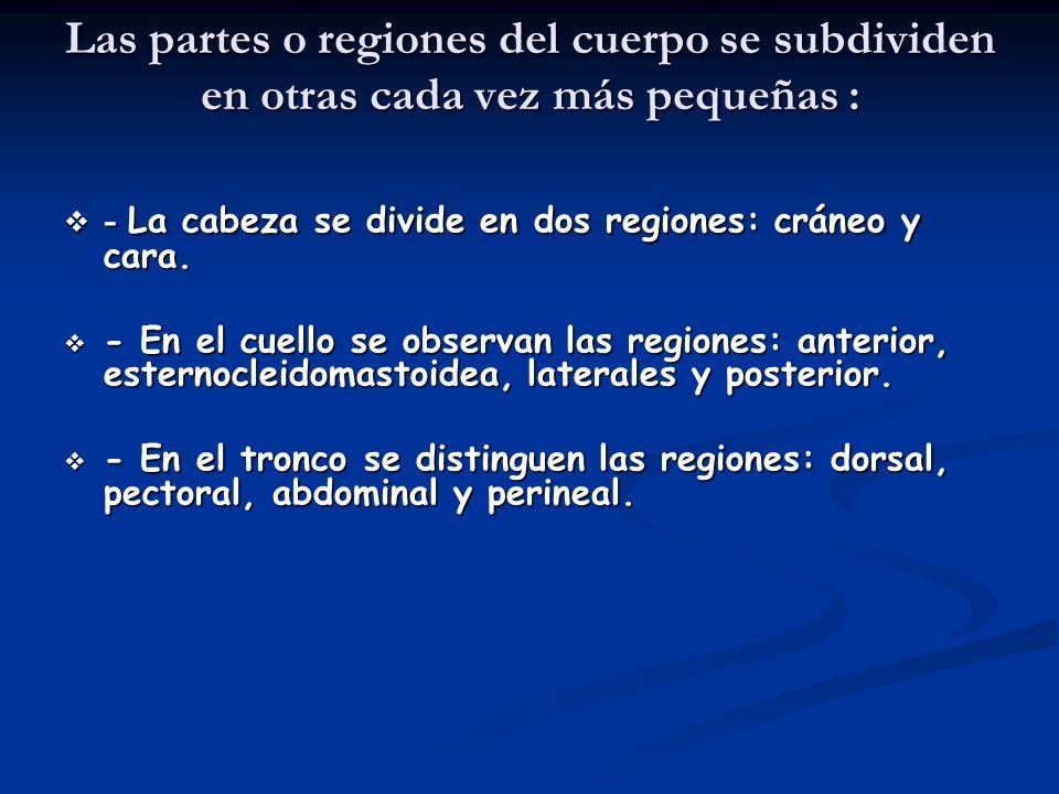 - Los miembros superiores cuentan con cinco regiones en cada lado que se nombran: deltoidea o del hombro, brazo, codo, antebrazo y mano.