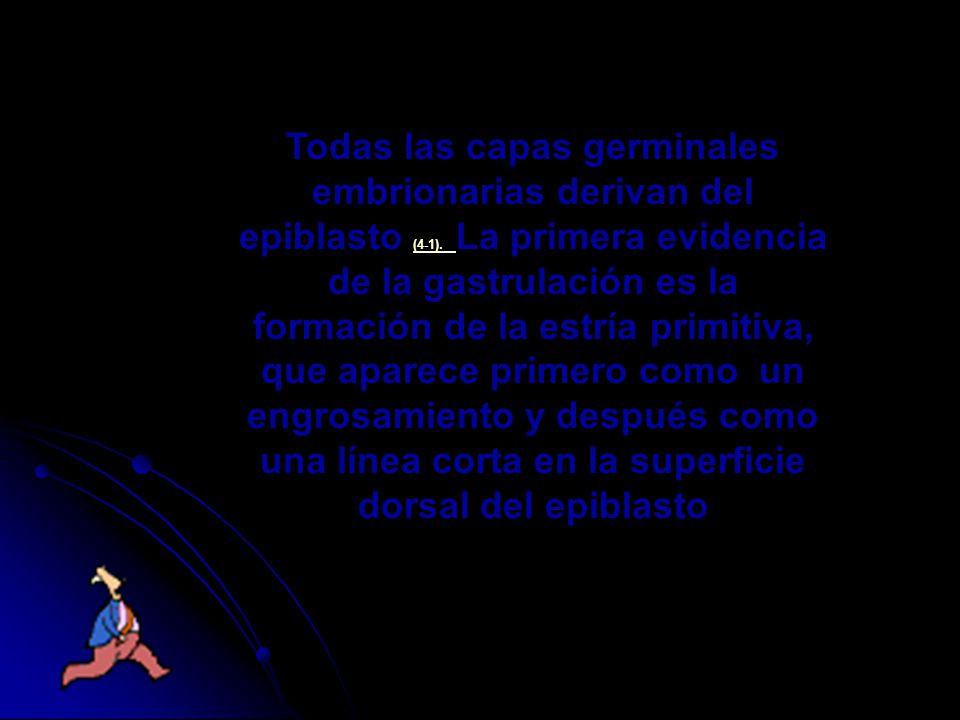 Todas las capas germinales embrionarias derivan del epiblasto (4-1). La primera evidencia de la gastrulación es la formación de la estría primitiva, q