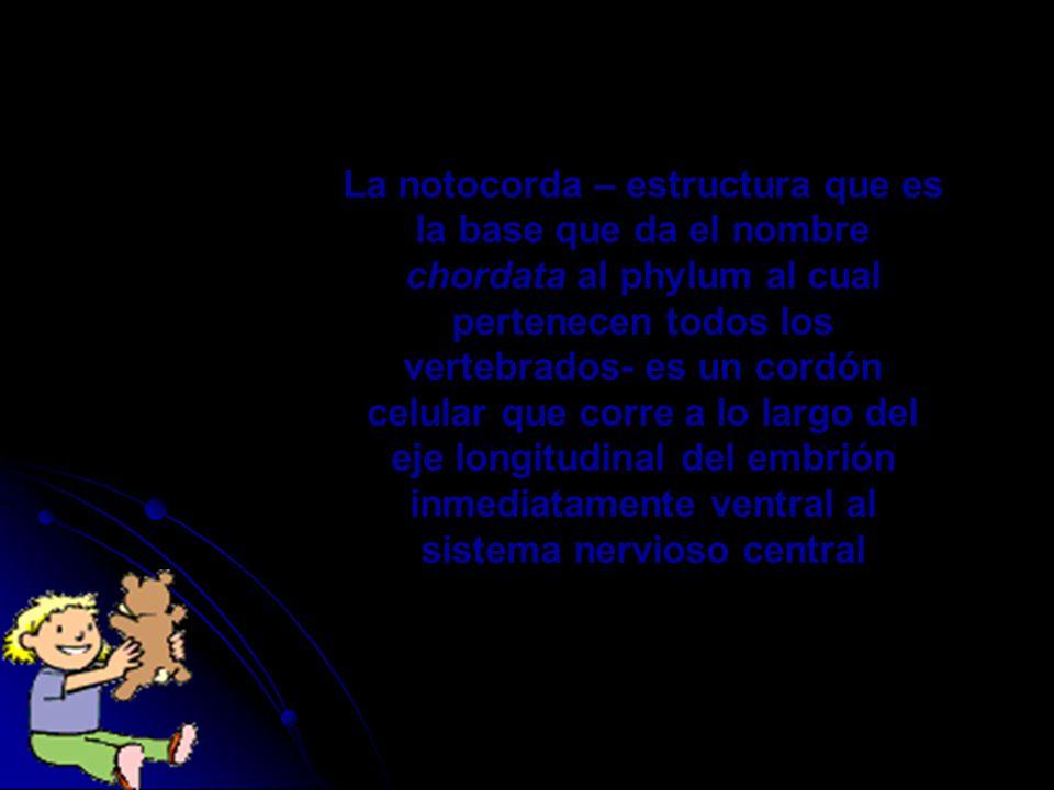 La notocorda – estructura que es la base que da el nombre chordata al phylum al cual pertenecen todos los vertebrados- es un cordón celular que corre