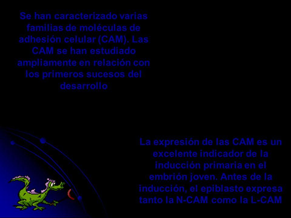 Se han caracterizado varias familias de moléculas de adhesión celular (CAM). Las CAM se han estudiado ampliamente en relación con los primeros sucesos