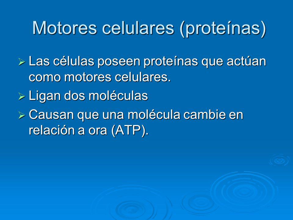 Motores celulares (proteínas) Motores celulares (proteínas) Las células poseen proteínas que actúan como motores celulares. Las células poseen proteín