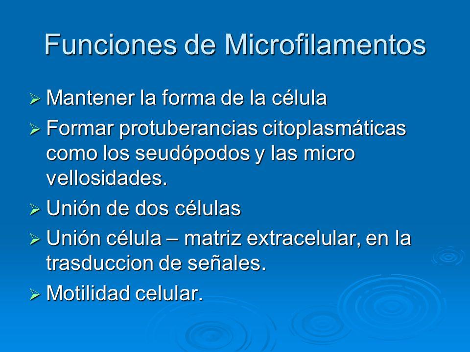 Funciones de Microfilamentos Mantener la forma de la célula Mantener la forma de la célula Formar protuberancias citoplasmáticas como los seudópodos y
