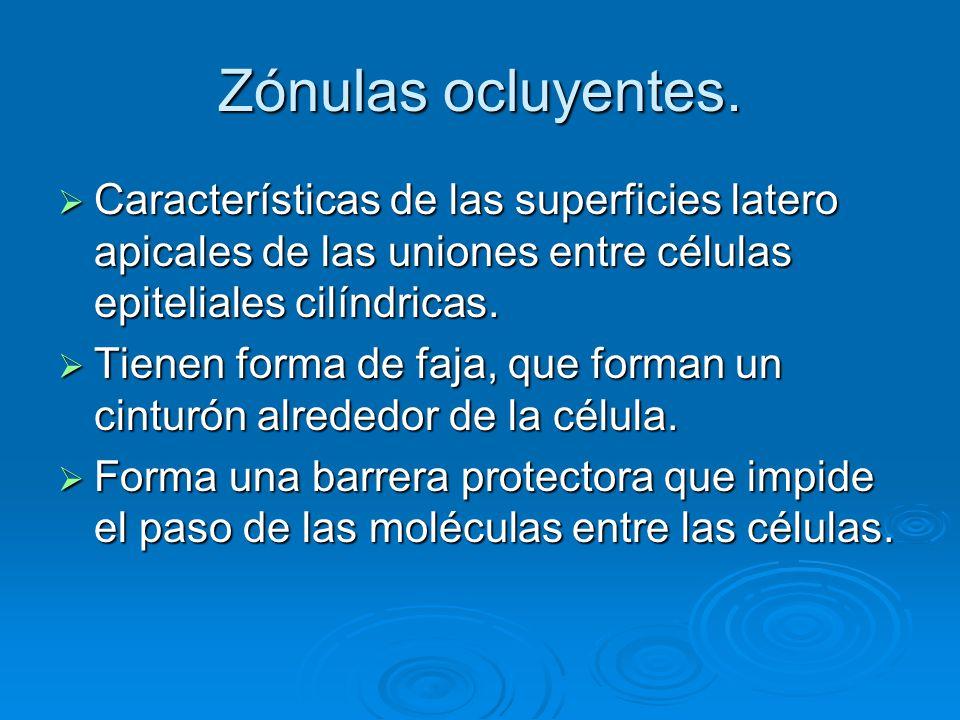 Zónulas ocluyentes. Características de las superficies latero apicales de las uniones entre células epiteliales cilíndricas. Características de las su