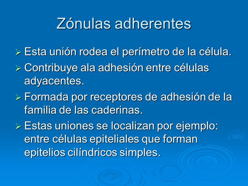 Zónulas adherentes Esta unión rodea el perímetro de la célula. Esta unión rodea el perímetro de la célula. Contribuye ala adhesión entre células adyac