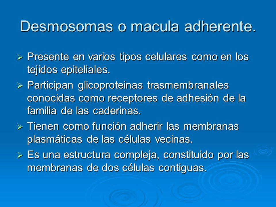 Desmosomas o macula adherente. Presente en varios tipos celulares como en los tejidos epiteliales. Presente en varios tipos celulares como en los teji