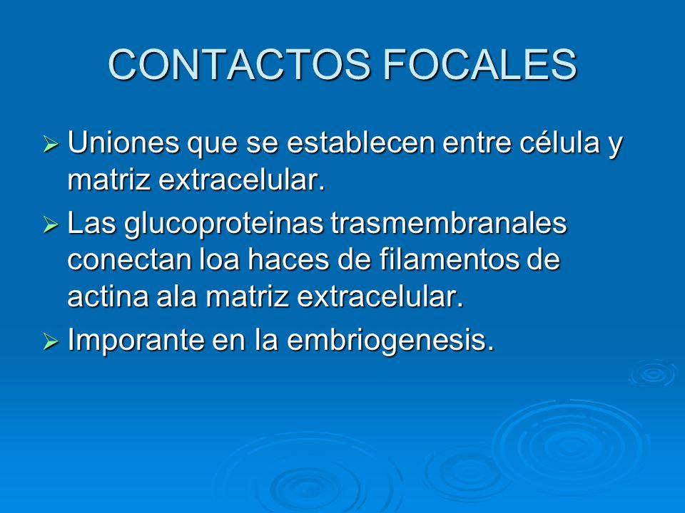 CONTACTOS FOCALES Uniones que se establecen entre célula y matriz extracelular. Uniones que se establecen entre célula y matriz extracelular. Las gluc