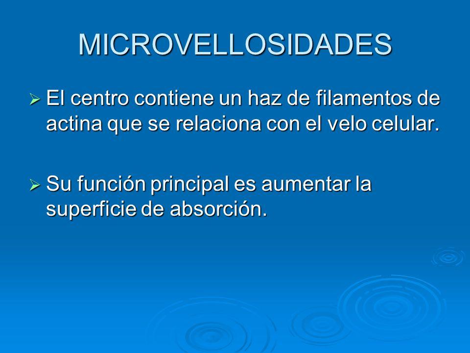MICROVELLOSIDADES El centro contiene un haz de filamentos de actina que se relaciona con el velo celular. El centro contiene un haz de filamentos de a