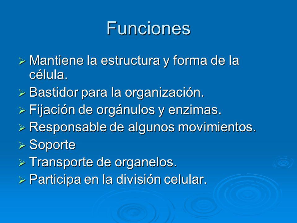 Funciones Mantiene la estructura y forma de la célula. Mantiene la estructura y forma de la célula. Bastidor para la organización. Bastidor para la or