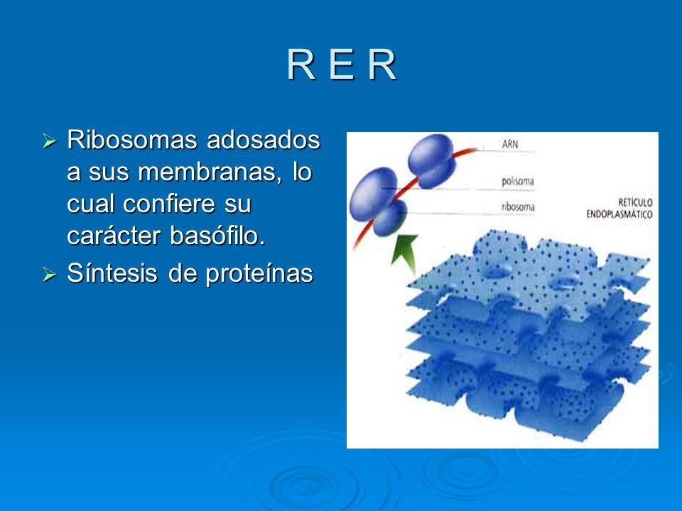R E R Ribosomas adosados a sus membranas, lo cual confiere su carácter basófilo. Ribosomas adosados a sus membranas, lo cual confiere su carácter basó