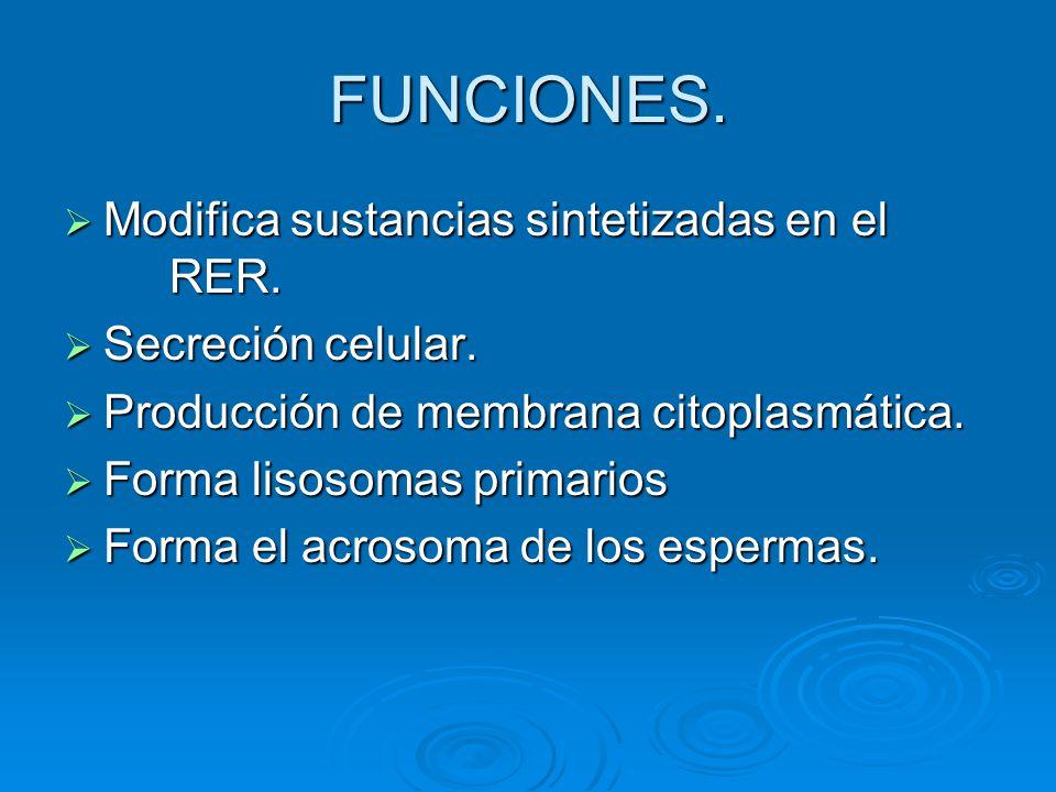 FUNCIONES. Modifica sustancias sintetizadas en el RER. Modifica sustancias sintetizadas en el RER. Secreción celular. Secreción celular. Producción de