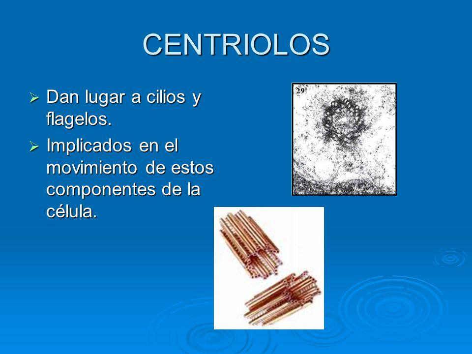 CENTRIOLOS Dan lugar a cilios y flagelos. Dan lugar a cilios y flagelos. Implicados en el movimiento de estos componentes de la célula. Implicados en