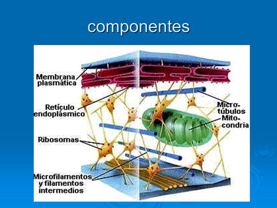 Funciones Mantener la fuerza de la tensión celular.