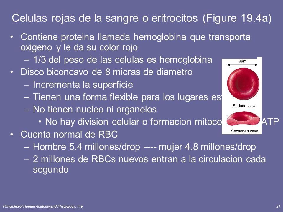 Principles of Human Anatomy and Physiology, 11e21 Contiene proteina llamada hemoglobina que transporta oxigeno y le da su color rojo –1/3 del peso de