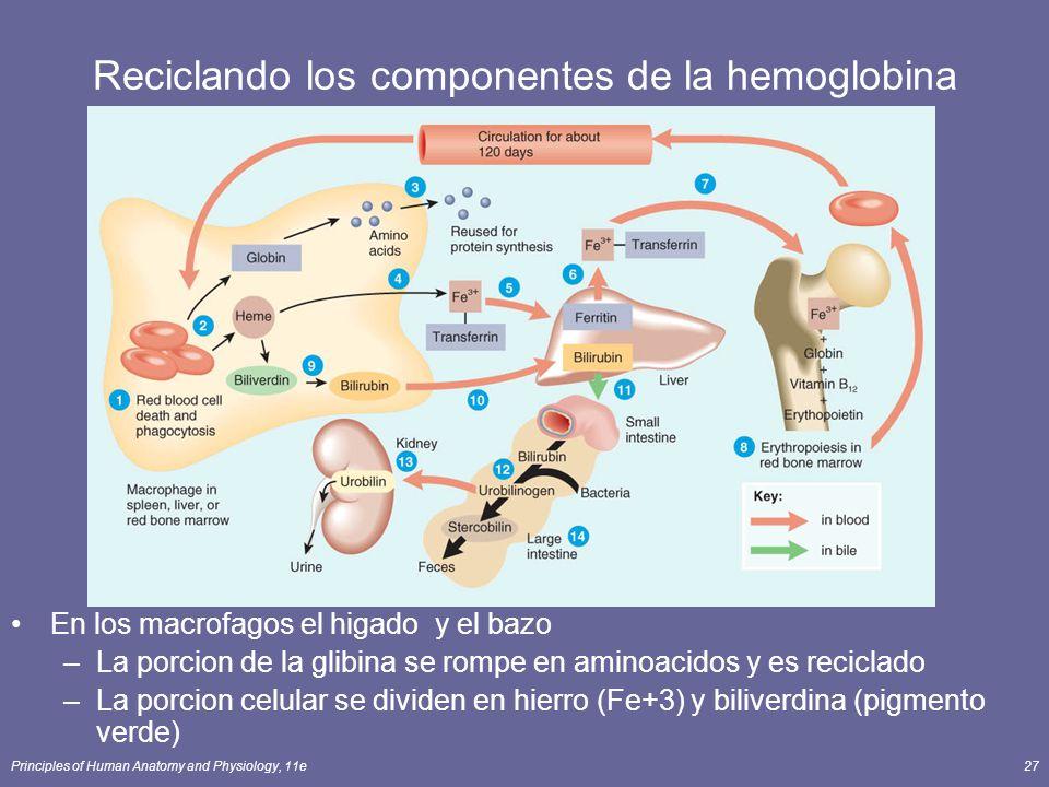 Principles of Human Anatomy and Physiology, 11e27 Reciclando los componentes de la hemoglobina En los macrofagos el higado y el bazo –La porcion de la
