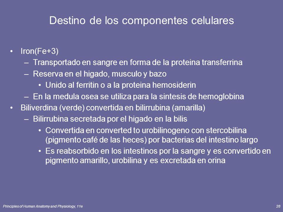 Principles of Human Anatomy and Physiology, 11e28 Destino de los componentes celulares Iron(Fe+3) –Transportado en sangre en forma de la proteina tran
