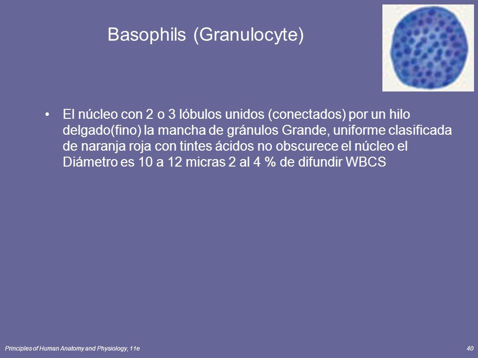 Principles of Human Anatomy and Physiology, 11e40 Basophils (Granulocyte) El núcleo con 2 o 3 lóbulos unidos (conectados) por un hilo delgado(fino) la