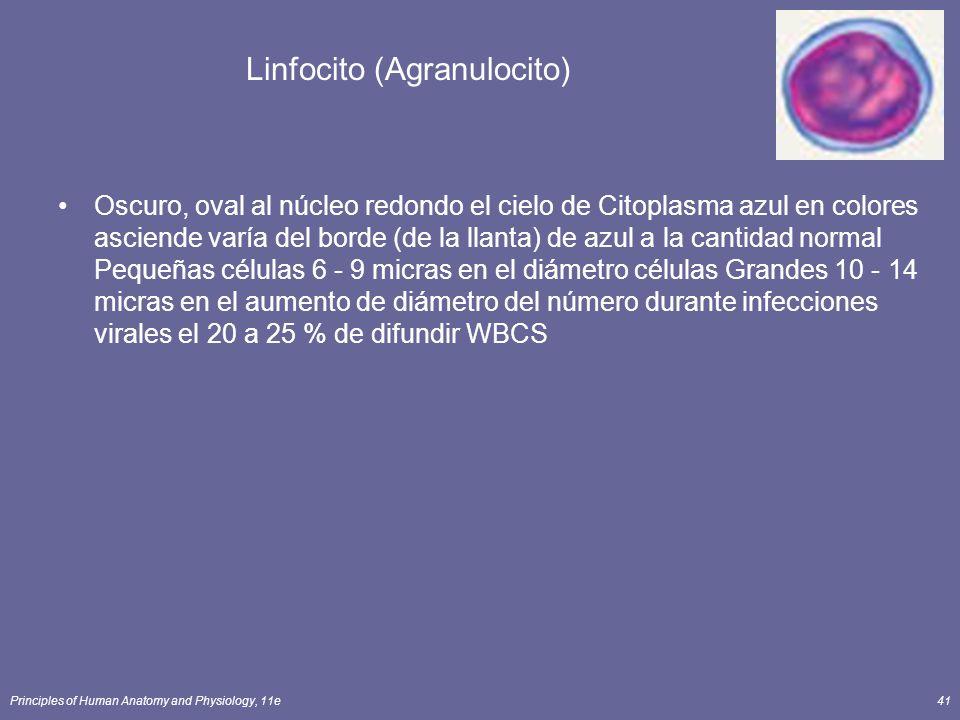 Principles of Human Anatomy and Physiology, 11e41 Linfocito (Agranulocito) Oscuro, oval al núcleo redondo el cielo de Citoplasma azul en colores ascie