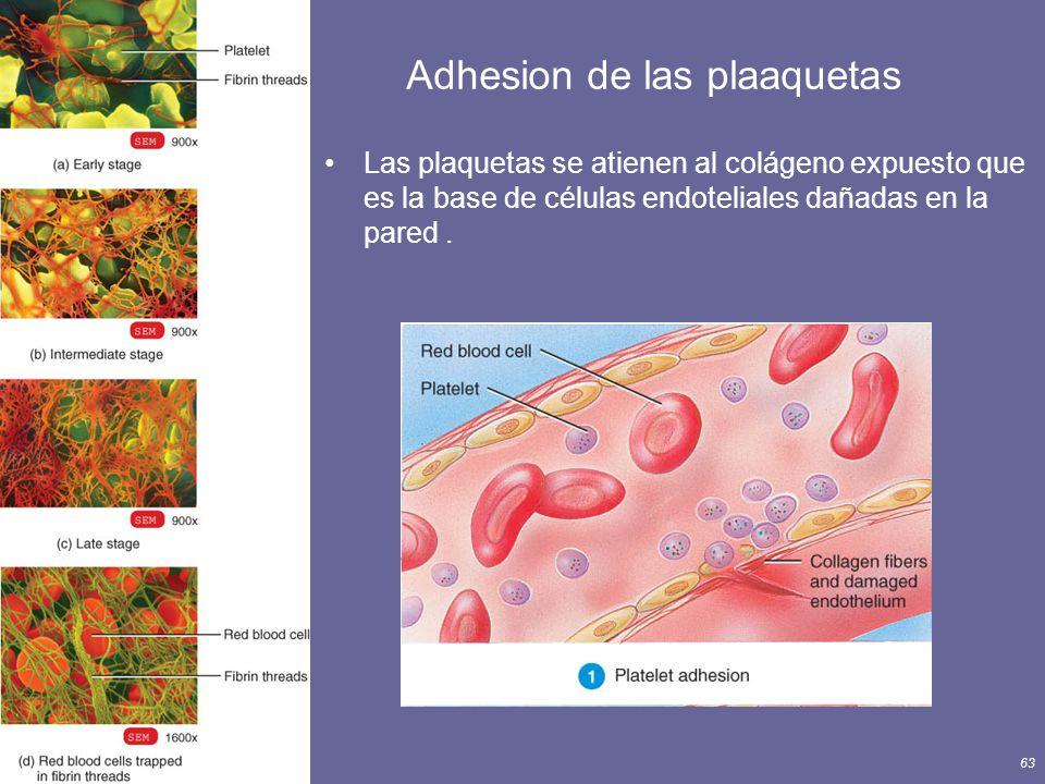 Principles of Human Anatomy and Physiology, 11e63 Adhesion de las plaaquetas Las plaquetas se atienen al colágeno expuesto que es la base de células e