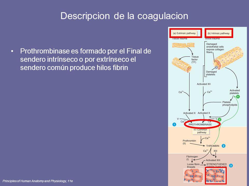 Principles of Human Anatomy and Physiology, 11e67 Descripcion de la coagulacion Prothrombinase es formado por el Final de sendero intrínseco o por ext