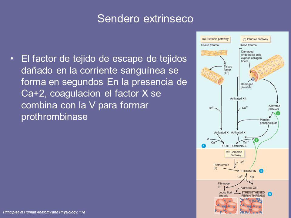 Principles of Human Anatomy and Physiology, 11e68 Sendero extrinseco El factor de tejido de escape de tejidos dañado en la corriente sanguínea se form