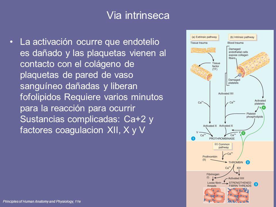 Principles of Human Anatomy and Physiology, 11e69 Via intrinseca La activación ocurre que endotelio es dañado y las plaquetas vienen al contacto con e