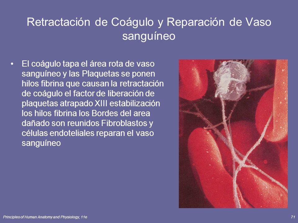Principles of Human Anatomy and Physiology, 11e71 Retractación de Coágulo y Reparación de Vaso sanguíneo El coágulo tapa el área rota de vaso sanguíne