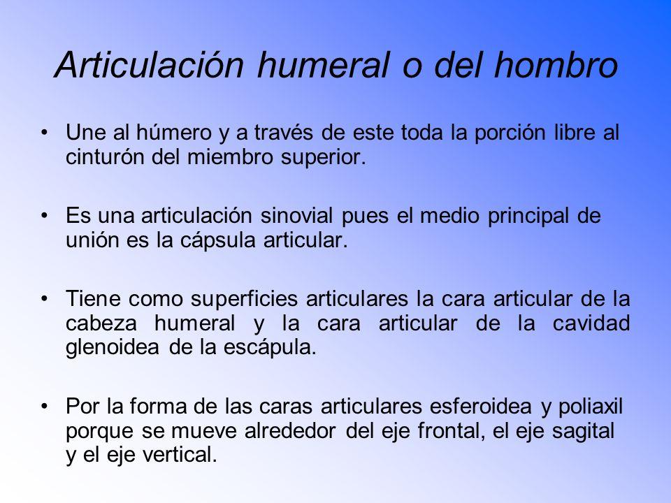 Articulación humeral o del hombro Une al húmero y a través de este toda la porción libre al cinturón del miembro superior.