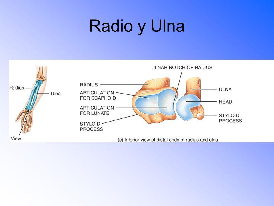 Radio y Ulna