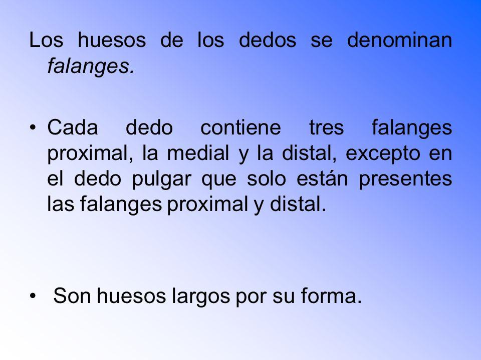 Los huesos de los dedos se denominan falanges.