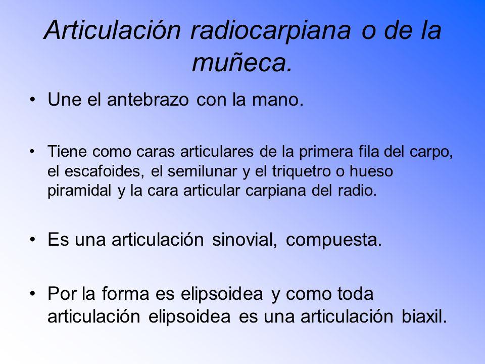 Articulación radiocarpiana o de la muñeca.Une el antebrazo con la mano.