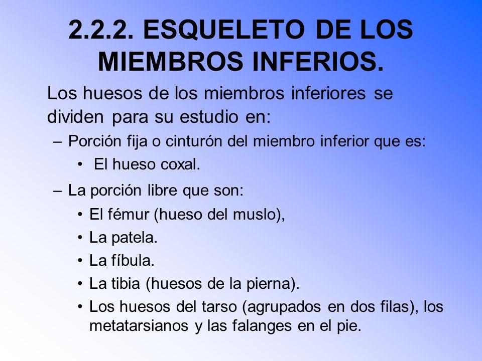 2.2.2.ESQUELETO DE LOS MIEMBROS INFERIOS.