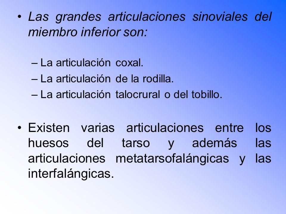 Las grandes articulaciones sinoviales del miembro inferior son: –La articulación coxal.