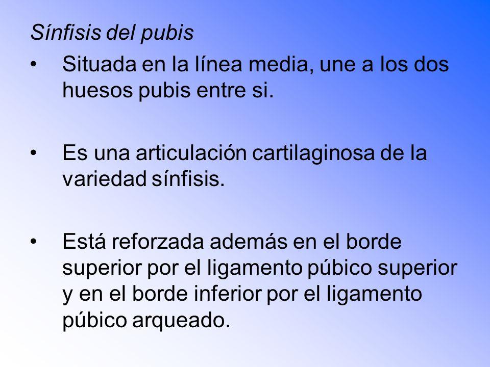 Sínfisis del pubis Situada en la línea media, une a los dos huesos pubis entre si.