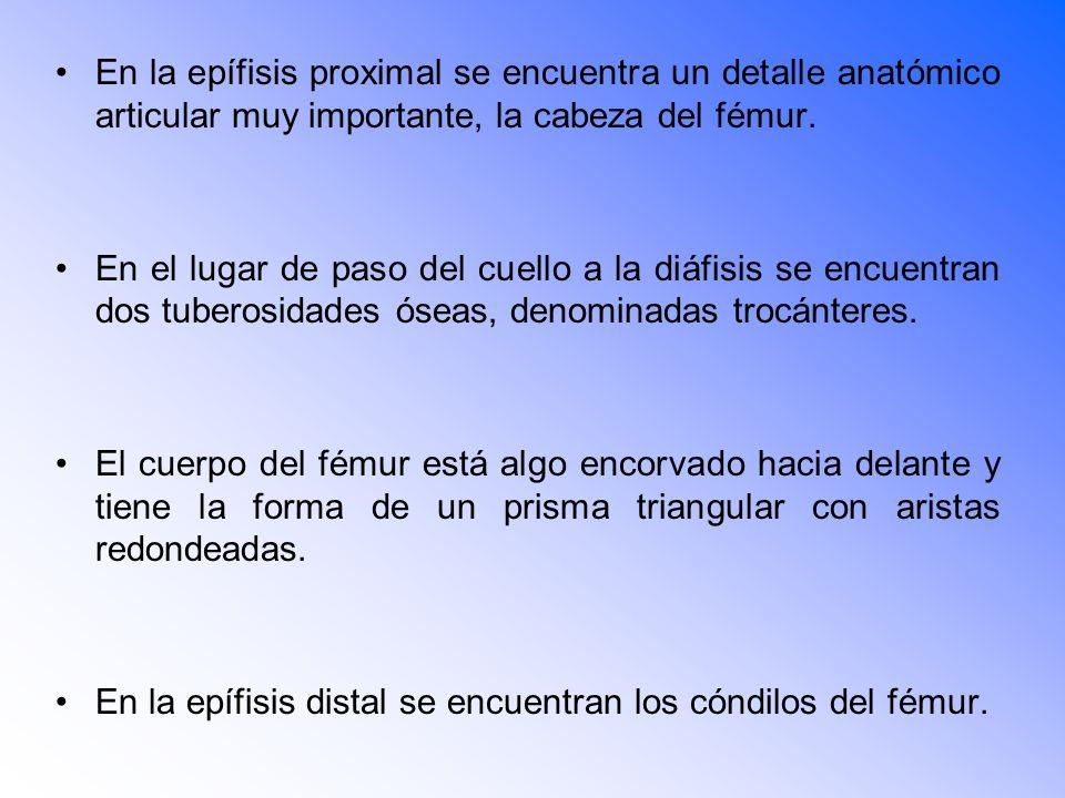 En la epífisis proximal se encuentra un detalle anatómico articular muy importante, la cabeza del fémur.