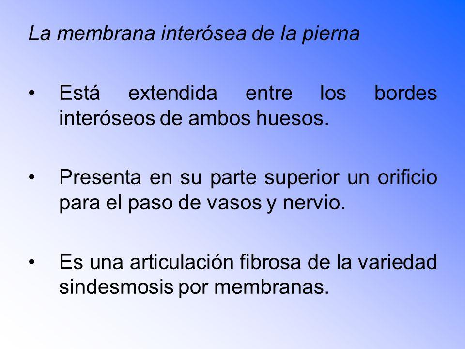 La membrana interósea de la pierna Está extendida entre los bordes interóseos de ambos huesos.
