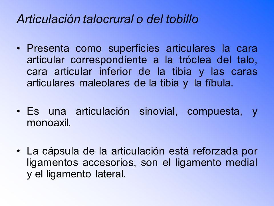 Articulación talocrural o del tobillo Presenta como superficies articulares la cara articular correspondiente a la tróclea del talo, cara articular inferior de la tibia y las caras articulares maleolares de la tibia y la fíbula.