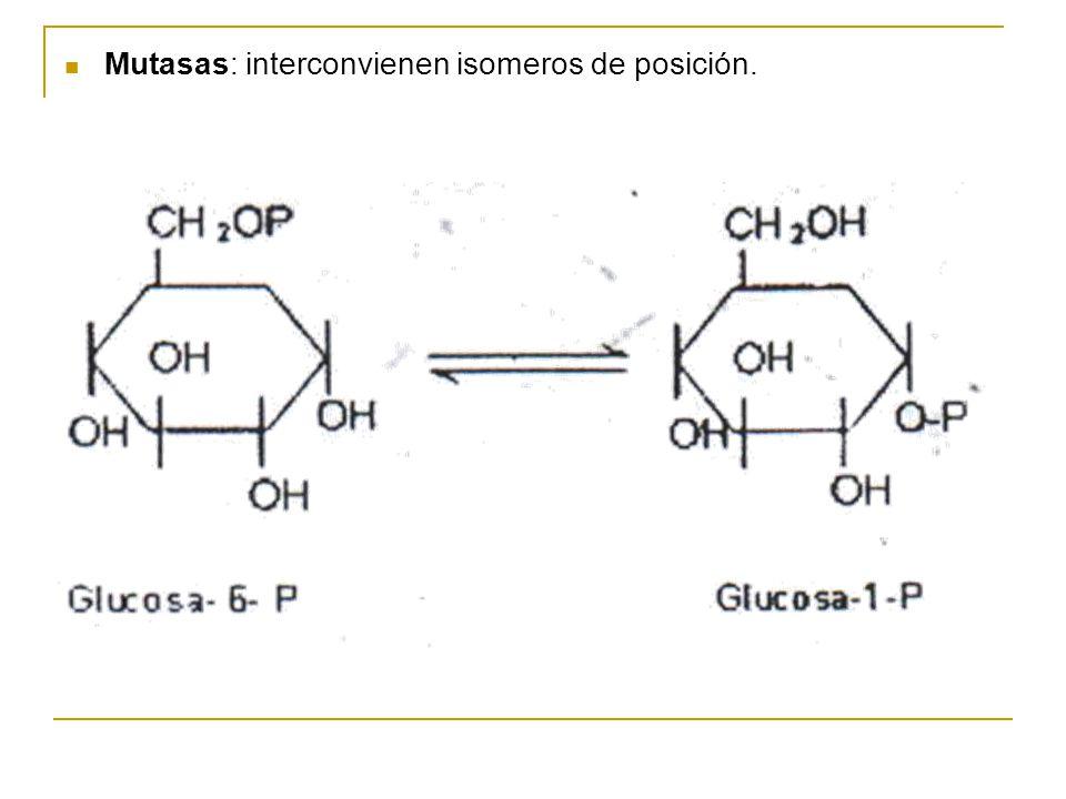 Mutasas: interconvienen isomeros de posición.