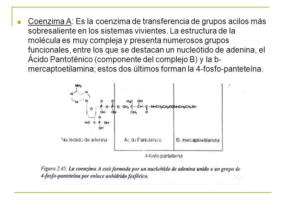Coenzima A: Es la coenzima de transferencia de grupos acilos más sobresaliente en los sistemas vivientes. La estructura de la molécula es muy compleja
