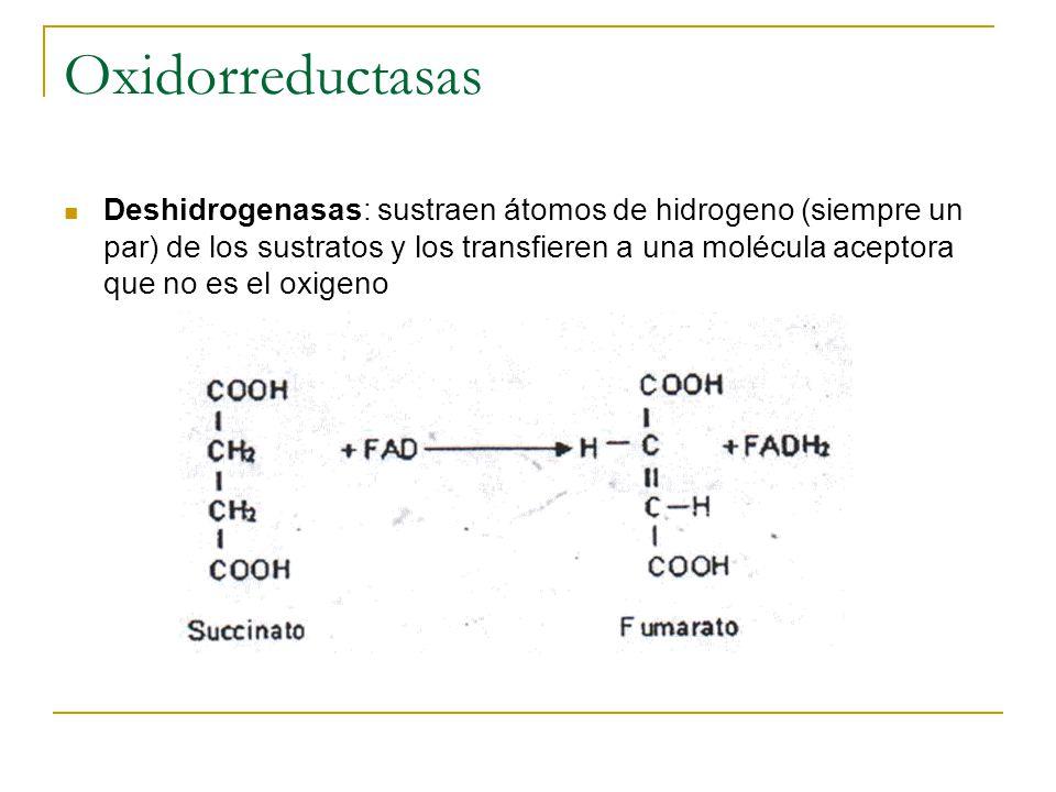 Oxidorreductasas Deshidrogenasas: sustraen átomos de hidrogeno (siempre un par) de los sustratos y los transfieren a una molécula aceptora que no es e