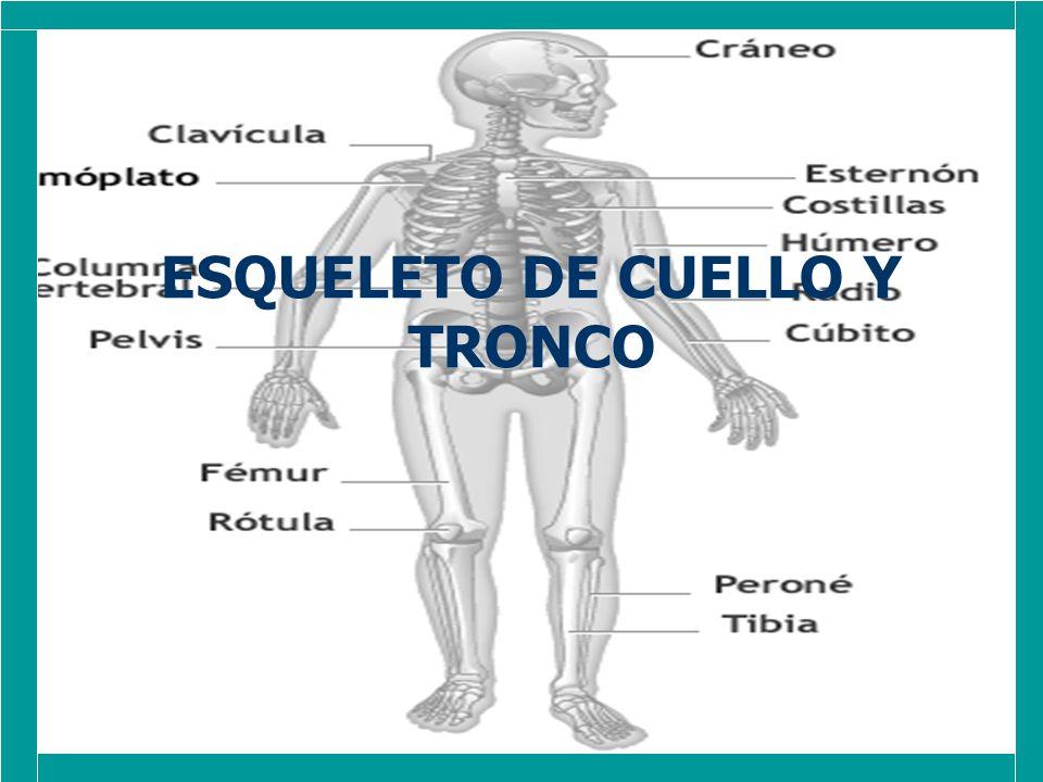 el esqueleto del cuello esta constituido por la porción: el esqueleto del cuello esta constituido por la porción: cervical de la columna vertebral cervical de la columna vertebral mientras que el esqueleto del tronco esta formado por la porción: mientras que el esqueleto del tronco esta formado por la porción: *torácica, lumbar, sacra, coccígea de la columna vertebral, el esternón y las costillas.