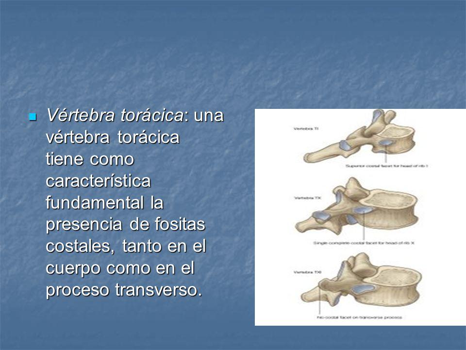 Vértebra torácica: una vértebra torácica tiene como característica fundamental la presencia de fositas costales, tanto en el cuerpo como en el proceso transverso.