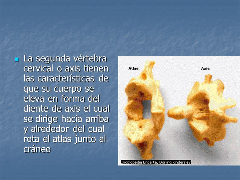La segunda vértebra cervical o axis tienen las características de que su cuerpo se eleva en forma del diente de axis el cual se dirige hacia arriba y alrededor del cual rota el atlas junto al cráneo La segunda vértebra cervical o axis tienen las características de que su cuerpo se eleva en forma del diente de axis el cual se dirige hacia arriba y alrededor del cual rota el atlas junto al cráneo