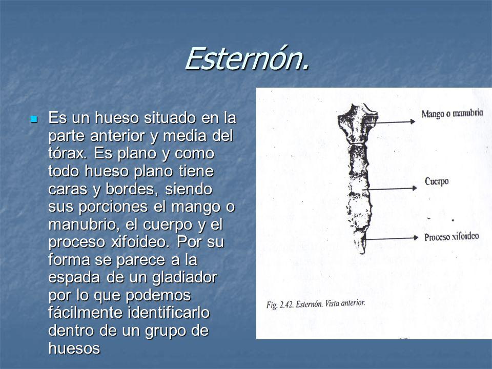 Esternón.Es un hueso situado en la parte anterior y media del tórax.